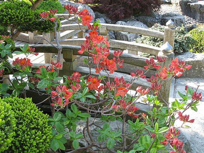 Red azalea beside miniature bridge